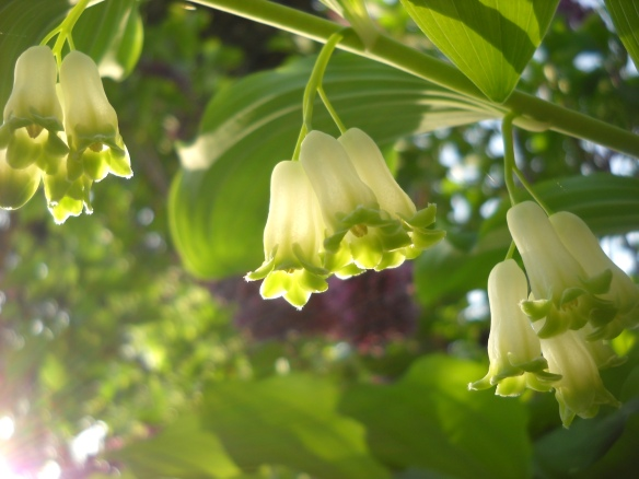 Solomon's seal (Polygonatum).