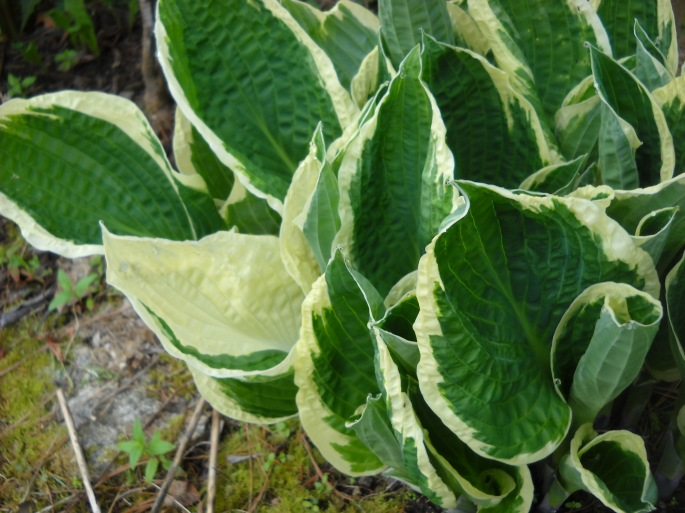 Hosta, cultivar name lost in the sands of time.
