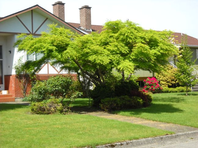 This lovely Japanese Maple is a little too low for most people. Better to move the entry path than trim the shapely tree.