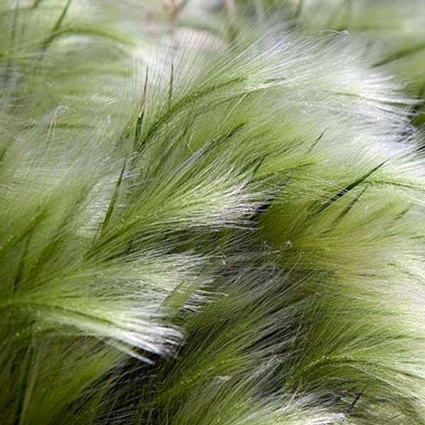 Stipa tenuissima. Photo credit.