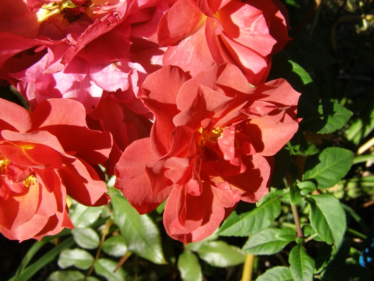 Rose 'Cinco de Mayo'
