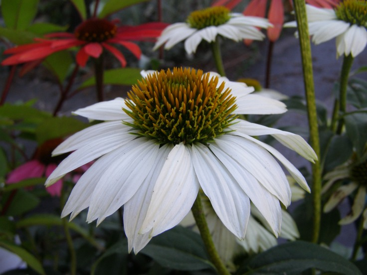 Echinacea 'Pow wow'