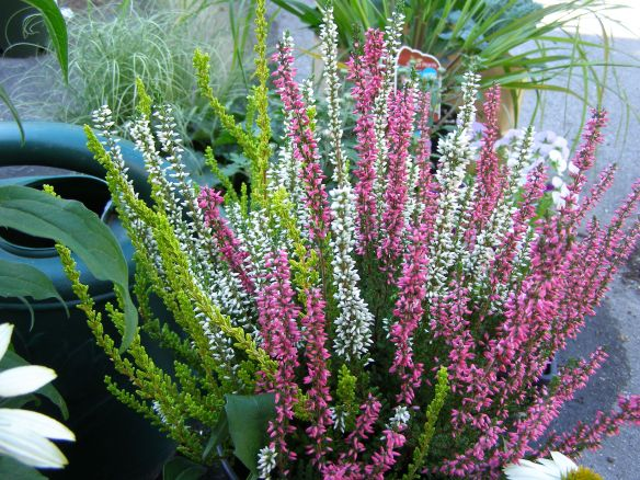 Three different (un-named) varieties of Calluna vulgaris (heather).
