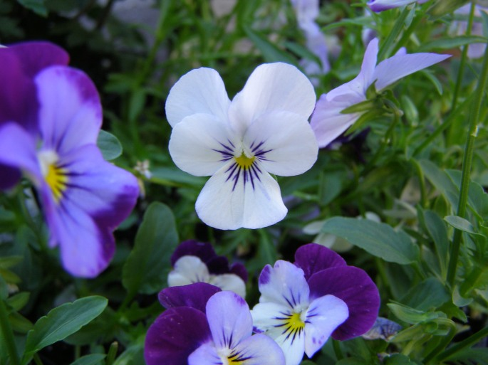 The  pansies (violas) to go in the planter.