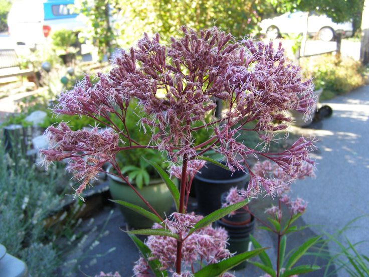 Eupatorium (Joe Pye Weed)--so excited to get this the other day--I've been wanting to add it to the garden for years!