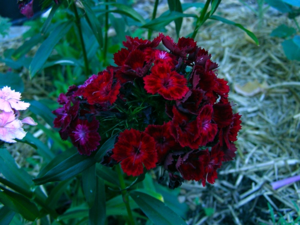 Amazing Sweet William (Dianthus barbatus). It took me ages to edit the colour of this to even appriach the actual colour--the real colour is actually still a little bluer than this.