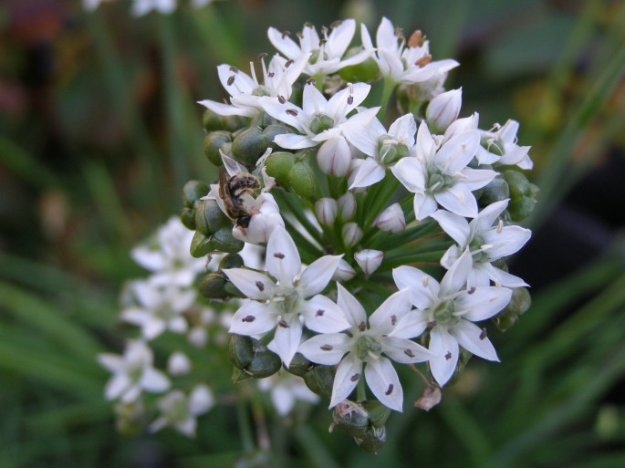 Garlic chives with predatory wasp.
