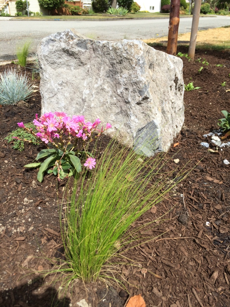 Boulevard planting: Nasella tenuissima (Mexican Feather Grass), Elijah Blue Fescue,