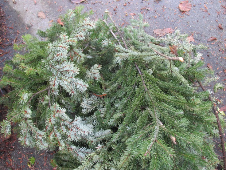 Mostly Douglas-fir, with a little spruce (Abies) of some kind. Harvested after a big wind storm from Central Park. And some from my back yard. Really, Doug-firs are messy, with their brittle branches.