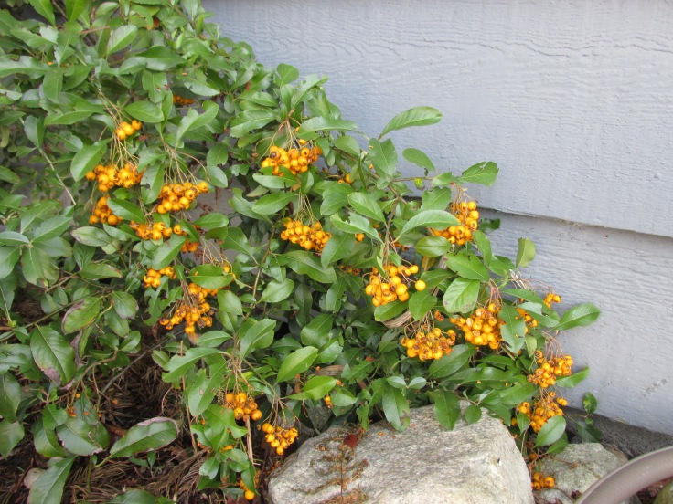 "Pyracantha--aka ""firethorn"", for reasons that become patently obvious when you get close to it: 1-2"" thorns grace its branches."