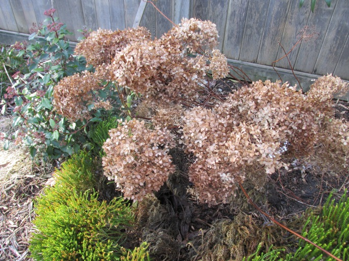 hydrangea blooms, faded of course, but still offering wonderful shape and texture, and even the brown colour takes on a gold aspect when paired with greenery.
