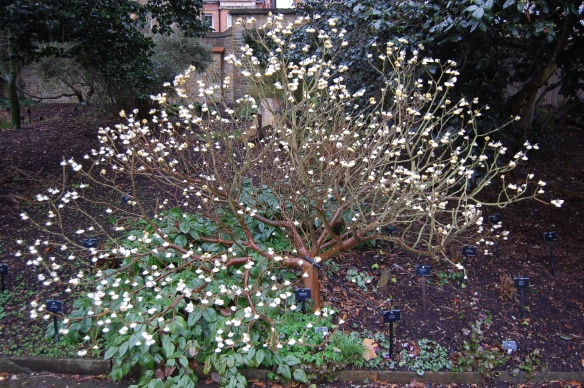 Edgeworthia chrysantha, image thanks to Davis Landscape Architect's Pages