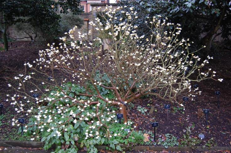 Edgeworthia chrysantha, image thanks to Davis Landscape Architect's Pages