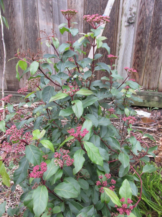 """This is also labelled """"Spring Bouquet', and is likely to be correctly labelled, but they surely can't both be the same variety, since this one is much redder in bud, and"""