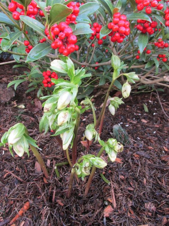 Helleborus x hybridus 'Ivory Prince'