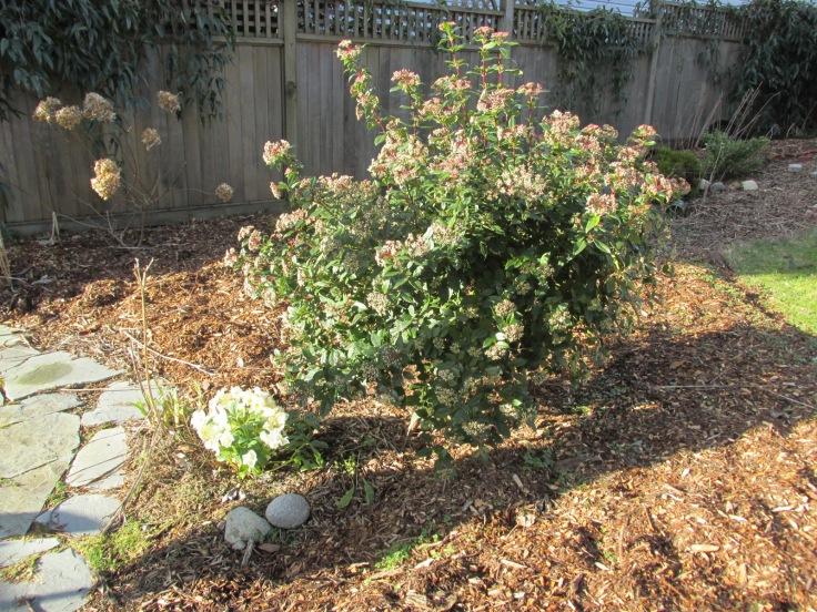 Viburnum tinus 'Spring Bouquet' with hellebores underneath.