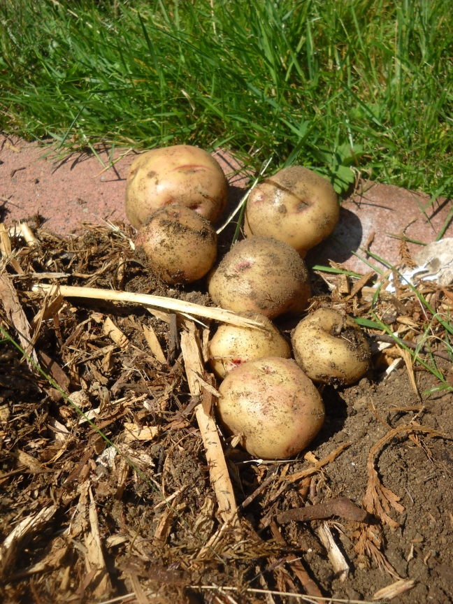 Potato harvest. One of my favourite things to grow, even tho' they're cheap to buy.