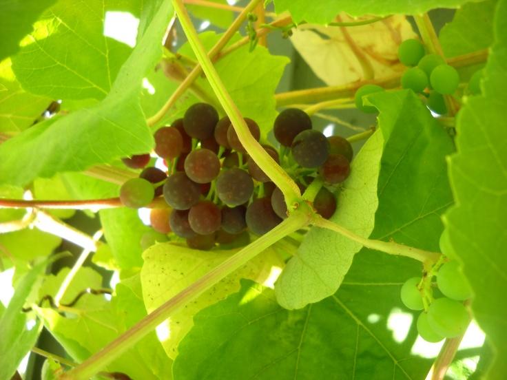 Coronation Grape