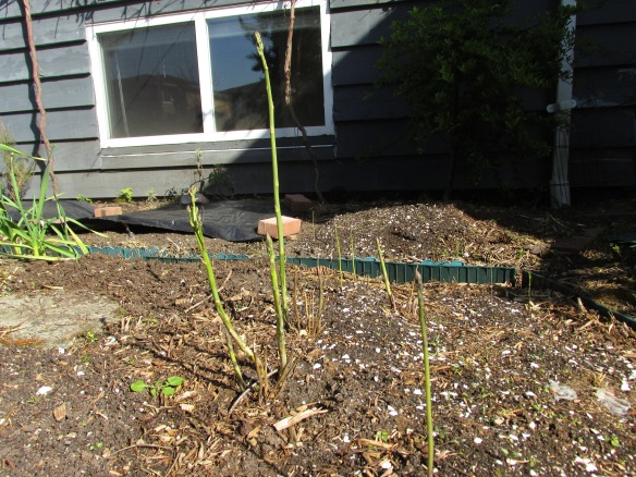 "This is not an example of quick results (nor ""success"" as one would usually define it). I sowed asparagus seeds indoors spring 213; few of them survived the transplant, so I direct sowed some more. Two years later this is my asparagus bed."