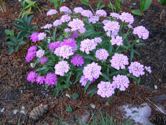 Iberis umbellata--annual candytuft.