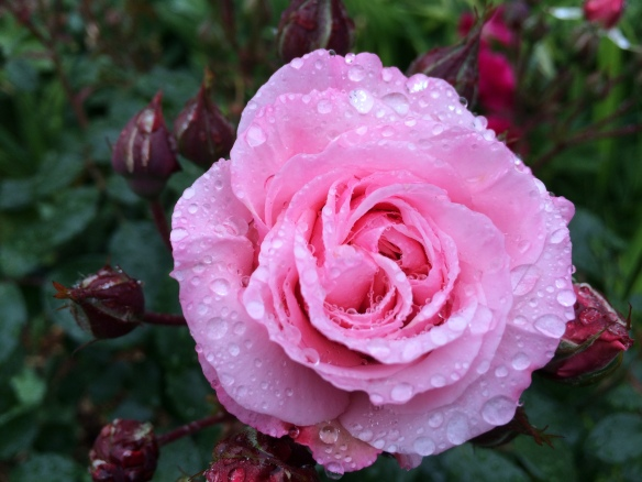 Rose 'Octavia Hill' in the rain.