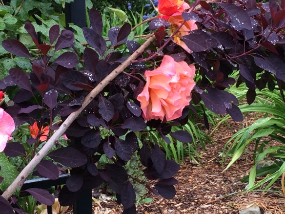 Westerland Rose and Cotinus coggygria 'Royal Purple'. (Smoke Bush)