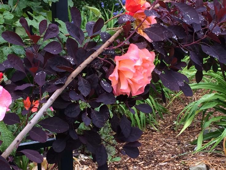 Westerland Rose and Cotinus coggygria 'Royal Purple'. (Smoke Bush)