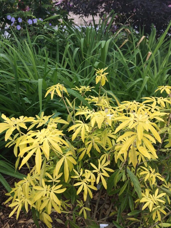 Choisya ternata 'Goldfingers' and my own hybridized really no-name daylilies