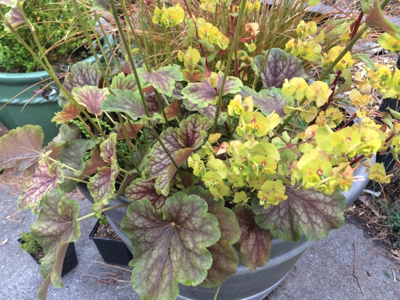Heuchera, possibly 'Van Gogh', with Euphorbia amygdaloides