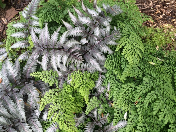 Adiantum caudatum (Maidenhead Fern) and Athyrium niponicum (Japanese Painted Fern)