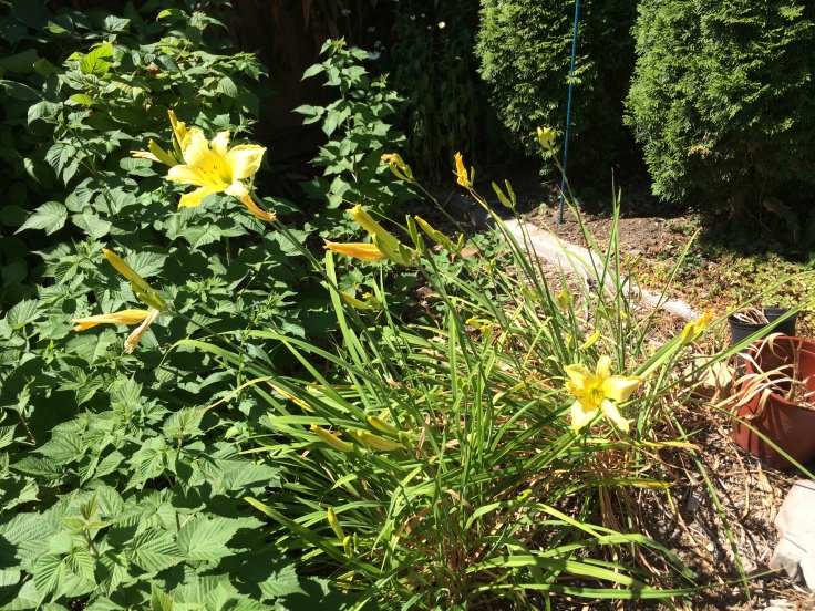 The foliage here is fading, but the flowers keep blooming and blooming. In full sun, with no added water at all.