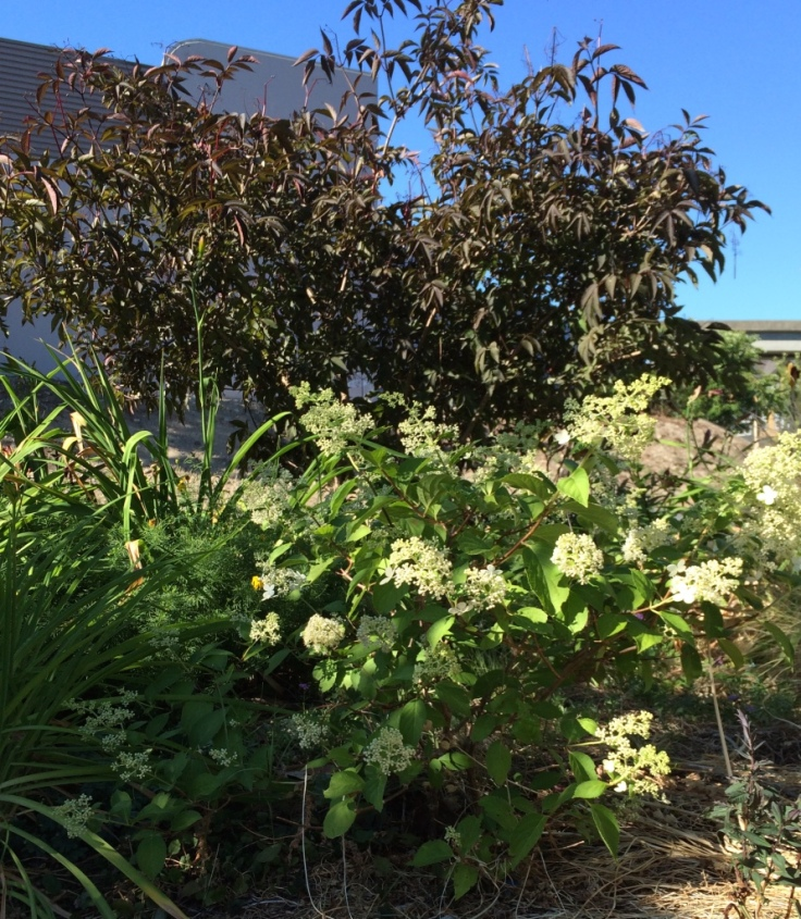Tiny (stunted actually) Hydrangea paniculata 'Brussels Lace' in front of Sambucus nigra 'black beauty