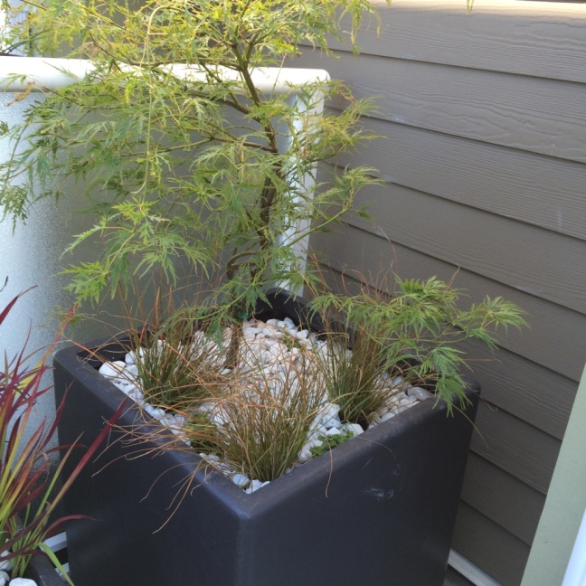 'Waterfall' Japanese Maple, tolerant of more sun than most J. Maples.