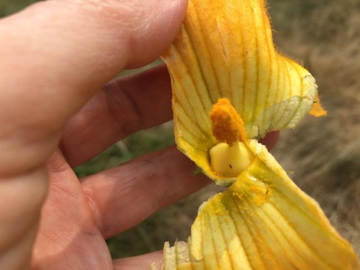 Squash male flower