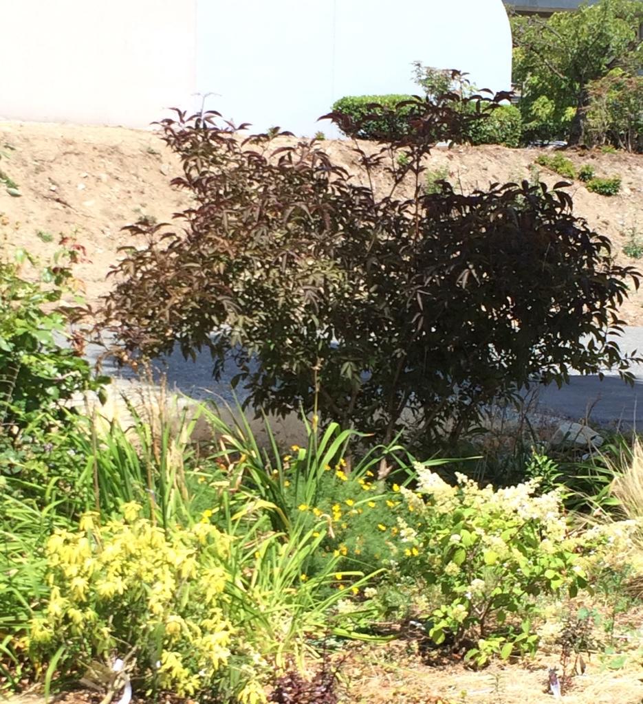 sambucus nigra black beauty real life garden solutions. Black Bedroom Furniture Sets. Home Design Ideas