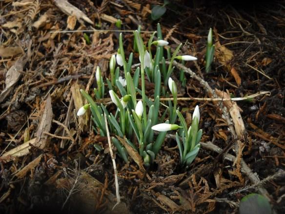 Galanthus nivalis--Snowdrop