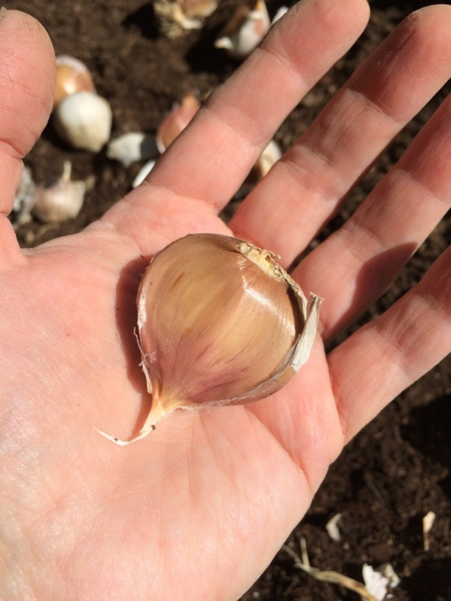 Large garlic clove.