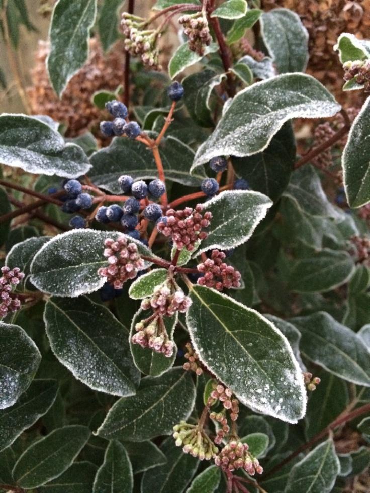 Viburnum tinus 'Robustum' (probably)