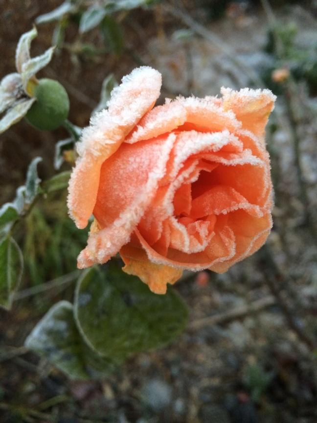 Julia Child Rose.