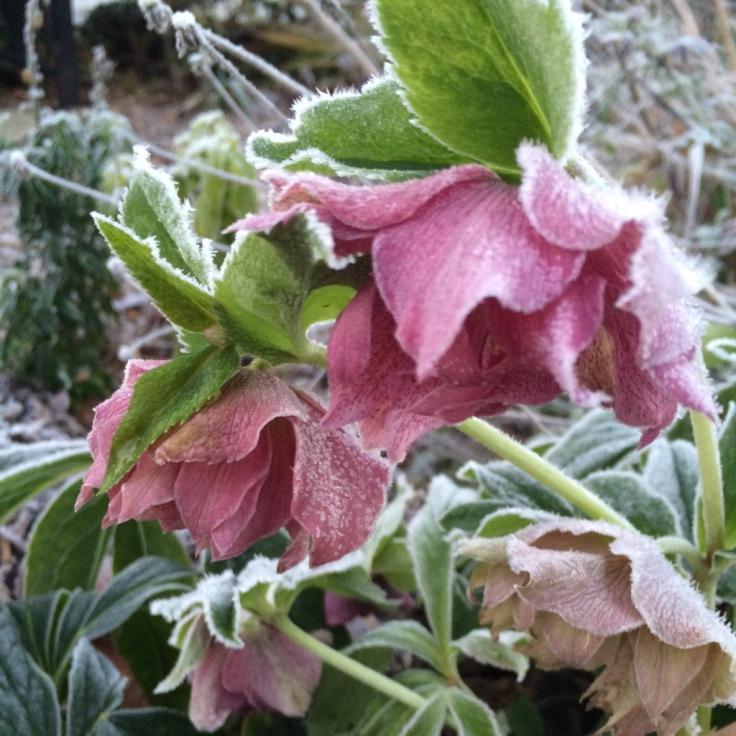 Helleborus x hybridus 'Spring Promise Elly'