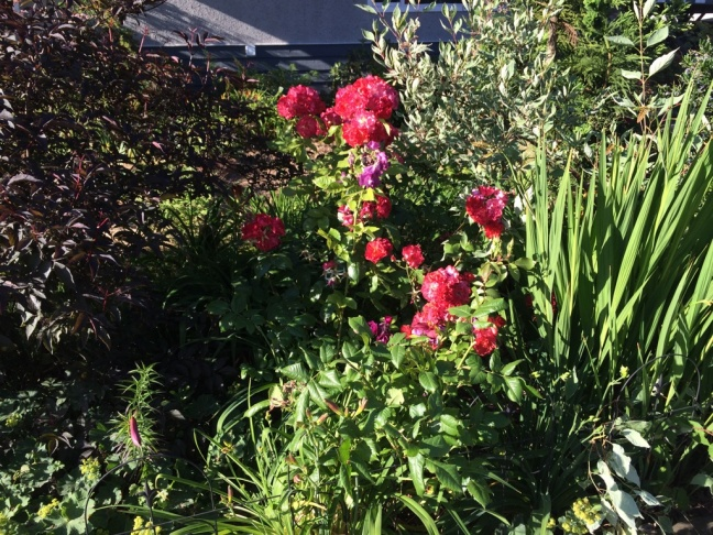 Way too many plants in a small space: two roses, black elderberry, numerous different daylilies, a vine maple, corkscrew willow, red twig dogwood, croscosmia... Wow, didn't realize there was THAT much!