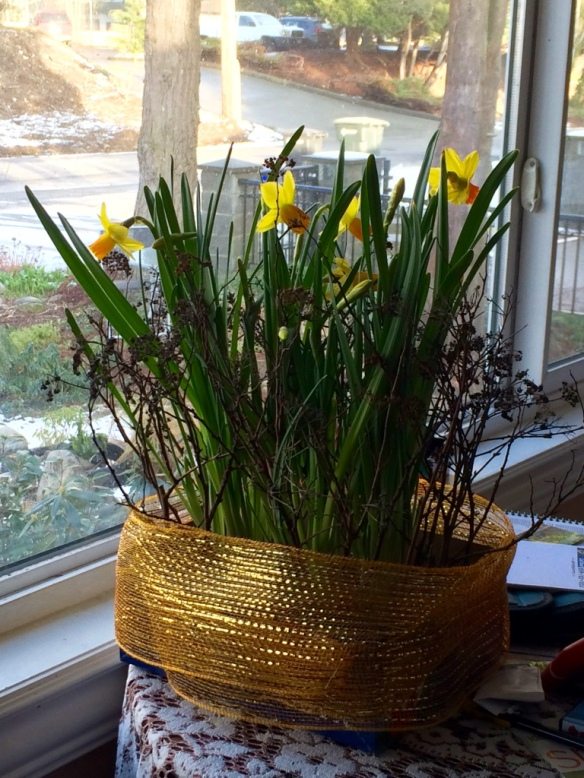 Jan 4 2016. Daffs in bloom. But where are the Iris?