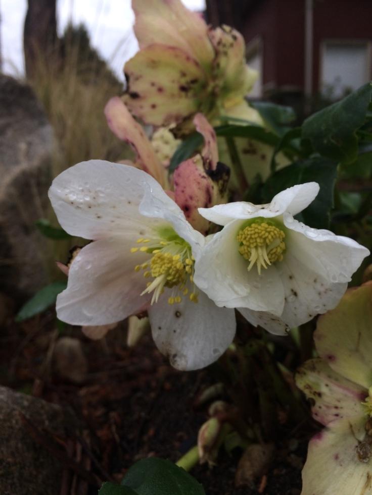 Lenten Rose--Helleborus niger 'HCG Jacob Classic'