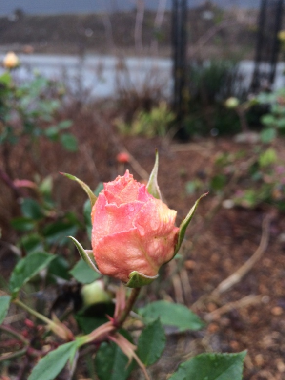 'Julia Child' Rose. This bud has been happily sitting here through two frosts, almost unending rain, and at least two months,