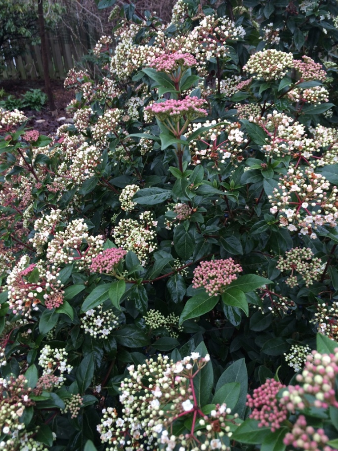 Viburnum tinus 'Spring Bouquet'. Can't beat it for all winter buds and blooms.