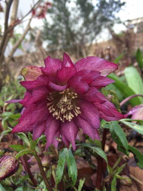 I've made an exhaustive but unsuccessful search for the name of this Hellebore. Alas.