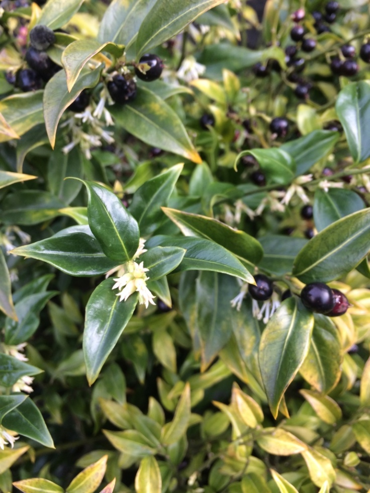 Sarcococca humilis. This insignificant flower has absolutely WOW fragrance, right by the front door.