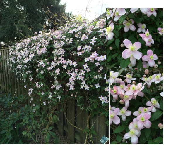 Clematis montana, possibly 'Rubra'? I think it looks better every year. It's climbing the neighbour's shed, as well as my plum and persimmon trees.