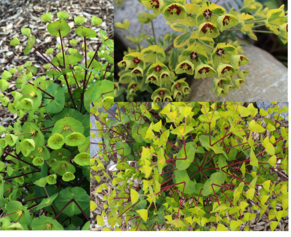 Now this is hardly believable! Is it really nature? The Euphorbia with the red petioles is 'Black Bird', and the one with the red stamens (?) is 'Ascot Rainbow'.