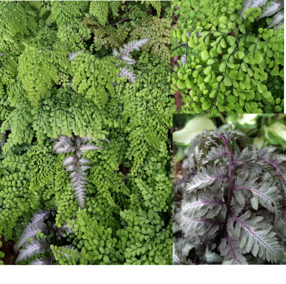My favourite combination: Adiantum venustum and Athyrium niponicum